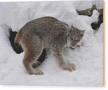 Baby Lynx Staying Close To Its Winter Den Wood Print by Inspired Nature Photography Fine Art Photography