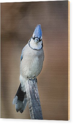 Backyard Birds Blue Jay Wood Print by Bill Wakeley