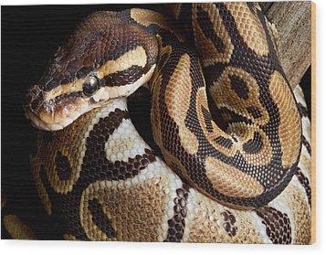 Ball Python Python Regius Wood Print by David Kenny