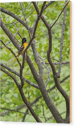 Baltimore Oriole Wood Print by Bill Wakeley
