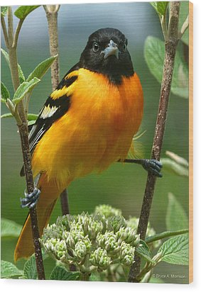 Baltimore Oriole Wood Print by Bruce Morrison