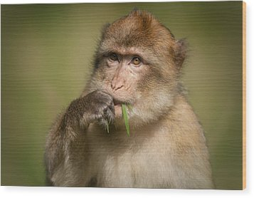 Barbary Macaque Wood Print by Andy Astbury