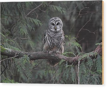 Barred Owl Stare Down Wood Print by Daniel Behm