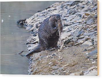 Beaver Sharpens Stick Wood Print by Chris Flees