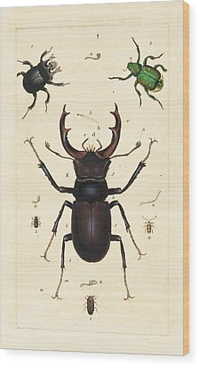 Beetles Wood Print by King's College London