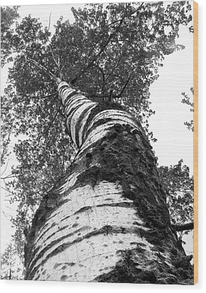 Birch Tree Wood Print by Tim Buisman