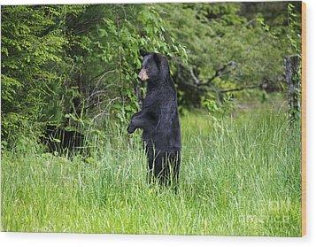 Black Bear Standing Upright Looking Wood Print by Dan Friend