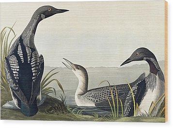 Black Throated Diver  Wood Print by John James Audubon