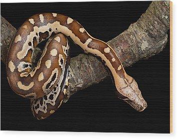 Blood Python Python Brongersmai Wood Print by David Kenny