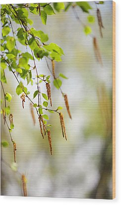 Blooming Birch Tree Wood Print by Jenny Rainbow