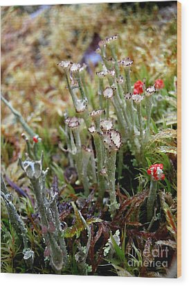 Blooming Lichen Wood Print by Steven Valkenberg