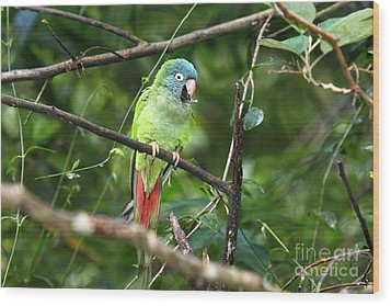 Blue Crowned Parakeet Wood Print by James Brunker