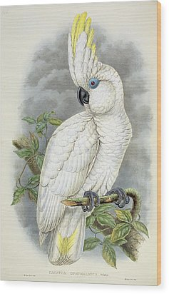 Blue-eyed Cockatoo Wood Print by William Hart