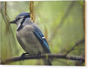 Blue Jay On A Misty Spring Day Wood Print by Lois Bryan