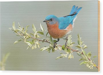 Bluebird Floral Wood Print by William Jobes