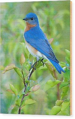 Bluebird Joy Wood Print by William Jobes