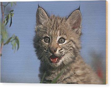 Bobcat Kitten Wood Print by Tim Fitzharris