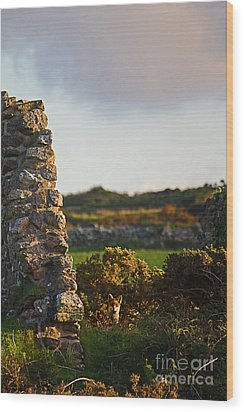 Botallack Fox At Sunset Wood Print by Terri Waters