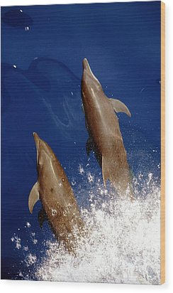 Bottlenose Dolphins Tursiops Truncatus Wood Print by Anonymous