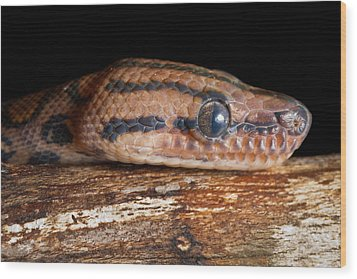 Wood Print featuring the photograph Brazilian Rainbow Boa Epicrates Cenchria by David Kenny