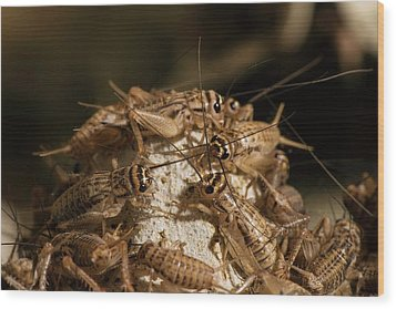 Breeding Insects For Human Consumption Wood Print by Philippe Psaila