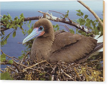 Brown Color Morph Of Red-footed Booby Wood Print by Thomas Wiewandt
