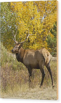 Bull Elk With Autumn Colors Wood Print by James BO  Insogna