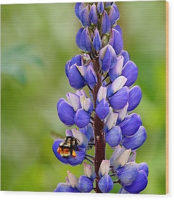 Bumble Bee And Lupine Wood Print by Art Block Collections