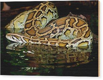 Burmese Python, Python Molurus Wood Print by David Northcott