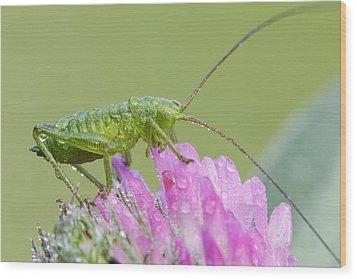 Bush Cricket Wood Print by Heath Mcdonald