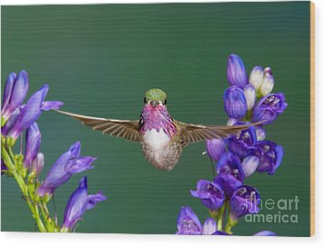 Calliope Hummingbird Stellula Calliope Wood Print by Anthony Mercieca