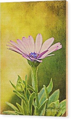 Cape Daisy Wood Print by Lois Bryan