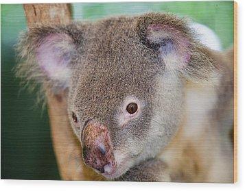 Captive Koala Bear Wood Print by Ashley Cooper