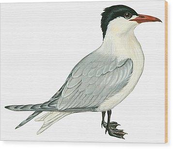 Caspian Tern Wood Print by Anonymous