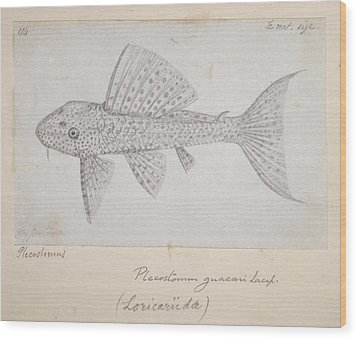 Catfish Wood Print by Natural History Museum, London