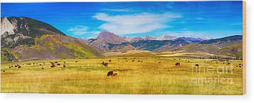 Cattle Grazing Autumn Panorama Wood Print by James BO  Insogna