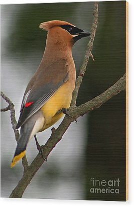 Cedar Wax Wing II Wood Print by Roger Becker