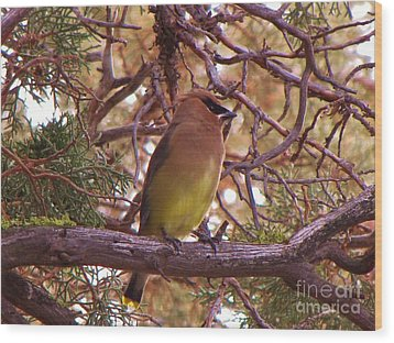 Cedar Wax Wing In Juniper Wood Print by Michele Penner