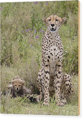 Cheetah  Acinonyx Jubatus Wood Print by Carol Gregory