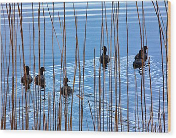 Chicks In Water With Reeds On The Outer Banks I Wood Print by Dan Carmichael