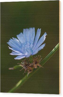 Chicory Wood Print by Lara Ellis