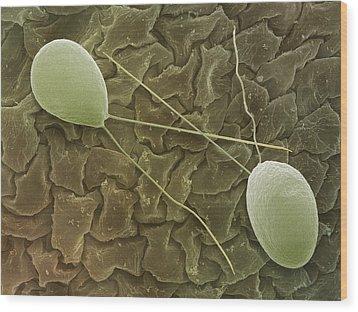 Chlamydomonas Sp. Algae, Sem Wood Print by Power And Syred