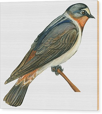 Cliff Swallow  Wood Print by Anonymous