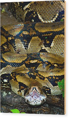 Close-up Of A Boa Constrictor, Arenal Wood Print by Panoramic Images