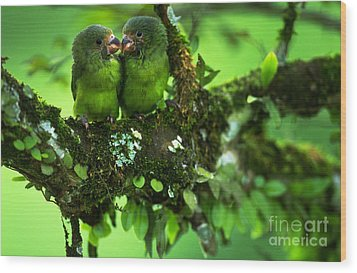 Cobalt-winged Parakeets Wood Print by Art Wolfe