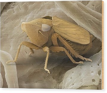 Common Froghopper, Sem Wood Print by Power And Syred