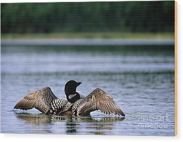 Common Loon Wood Print by Mark Newman
