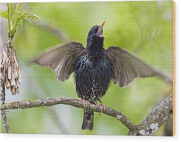 Common Starling Singing Bavaria Wood Print by Konrad Wothe