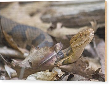Copperhead In The Wild Wood Print by Betsy Knapp