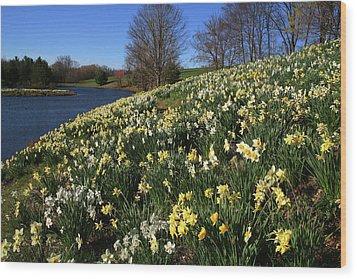 Daffodil Hill Wood Print by Karol Livote